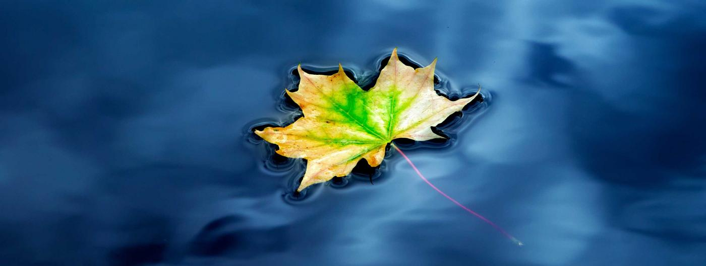 Single maple leaf floating on blue water