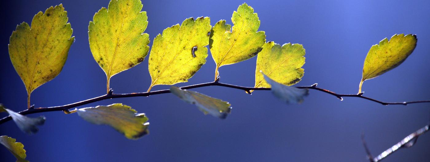 Sprig of yellow leaves against a blurry background