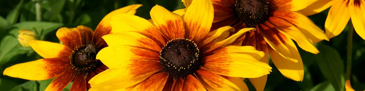 Black-Eyed Susan flowers in sunlight