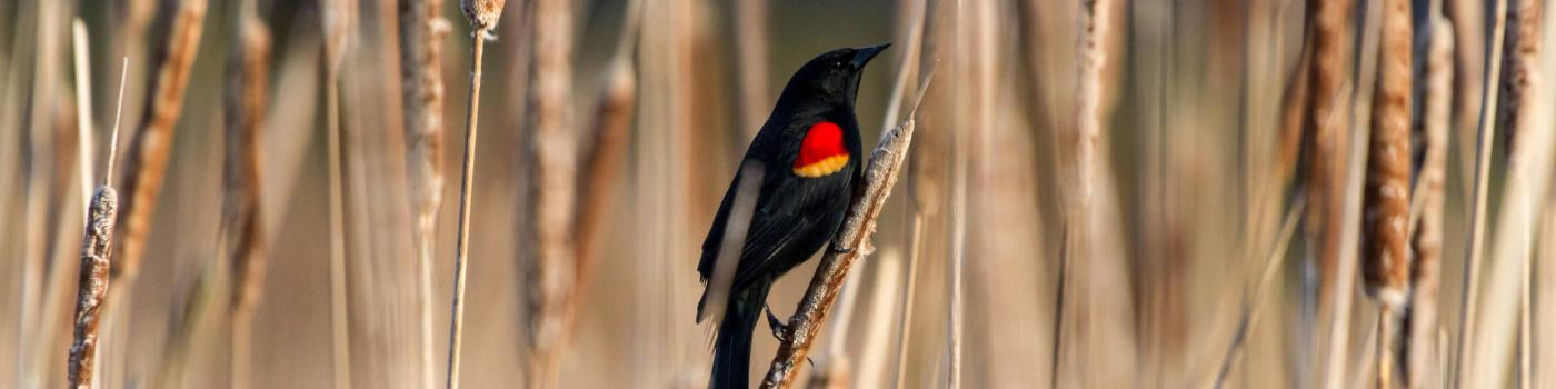 Red-Winged Black bird sitting on bull rushes