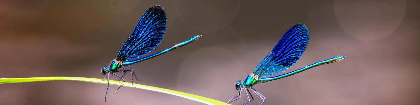 two blue dragonflies on a blade of grass