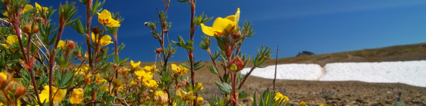 Yellow alpine flowers and remnants of winter snow