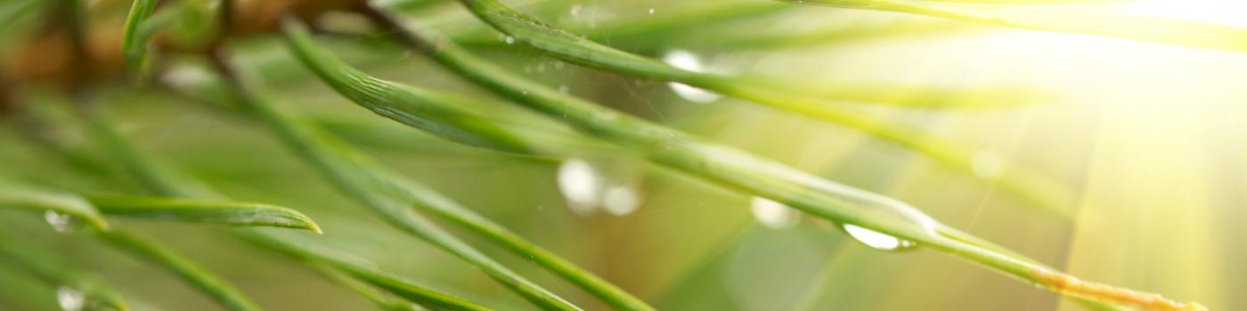 Water droplets on the ends of some pine needles