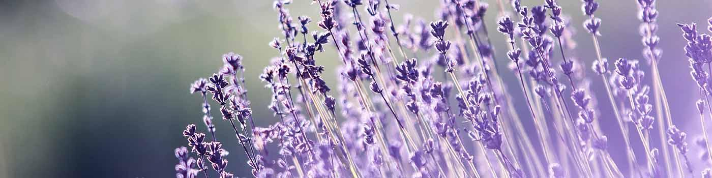 purple lavender in the sunlight