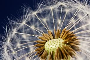 Close-up macro photo of a dandelion in seed