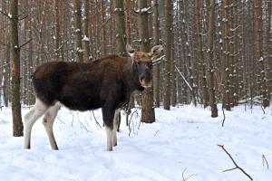 A moose standing in the snow with pine forest behind