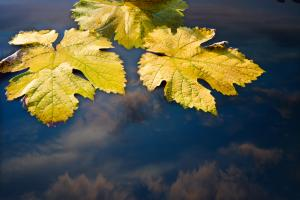 Three yellow fall leaves lying on sky reflecting water surface