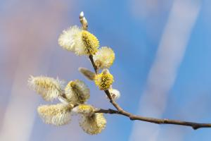Pussy willow blossoms against the sky