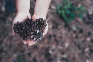 Two hands holding out pine cones