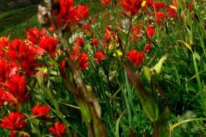 red flowers on a green rolling hill